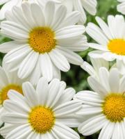 Daisy Marguerite