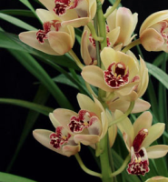 Orchid Cymbidium Mini