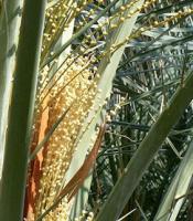 Palm Buds