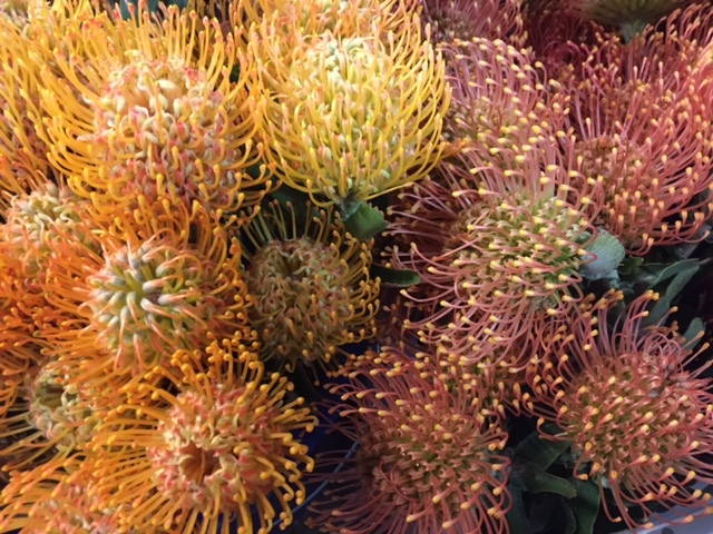 Protea Pincushion