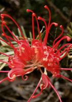 Proteaceae
