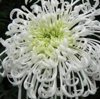 Spidermum
