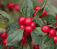 Berry Winter