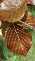 Copperbeach