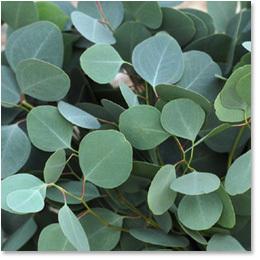 Eucalyptus - Silver Dollar