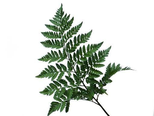 Leather Leaf (Baker Fern)