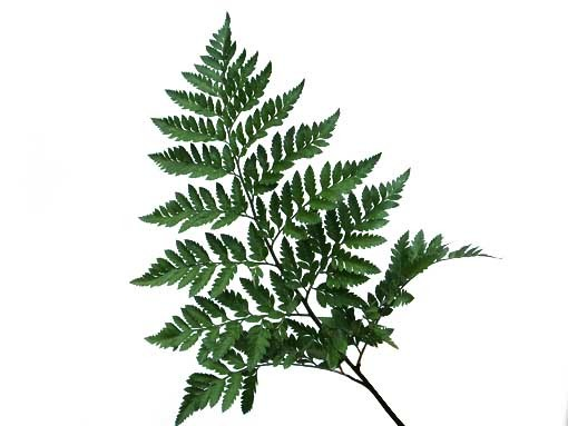 Leather Leaf (Baker Fern)