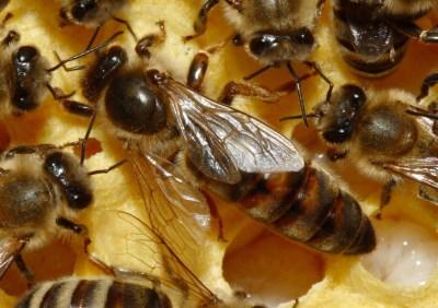 Queen Bees, Honey Bees