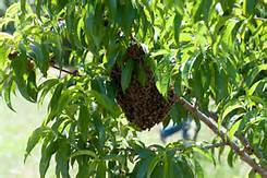 Bee Swarm Removals in NC
