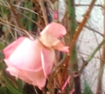 faded roses of late summer