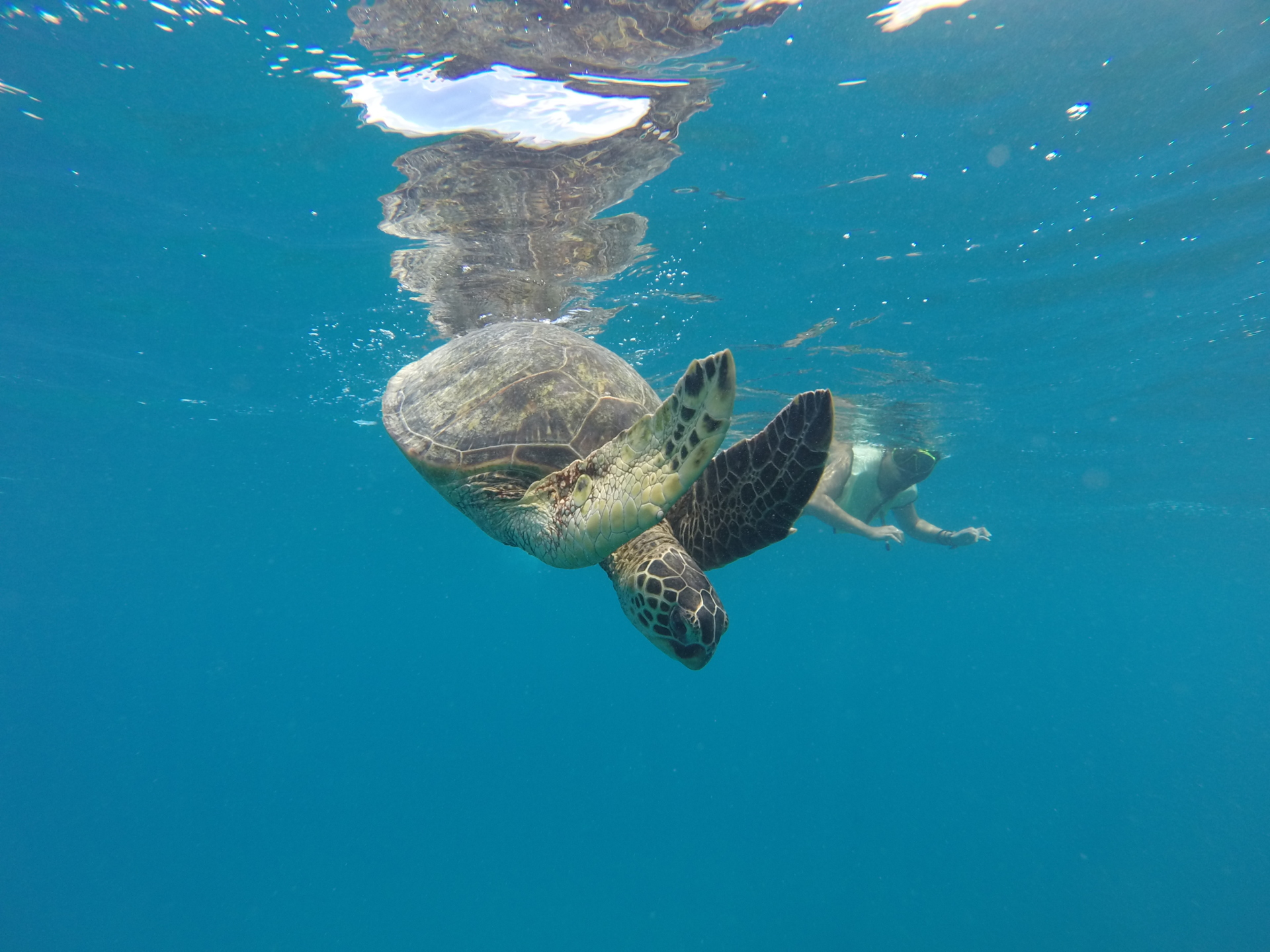 Honu diving! Honu is Hawaiian for Sea Turtle.