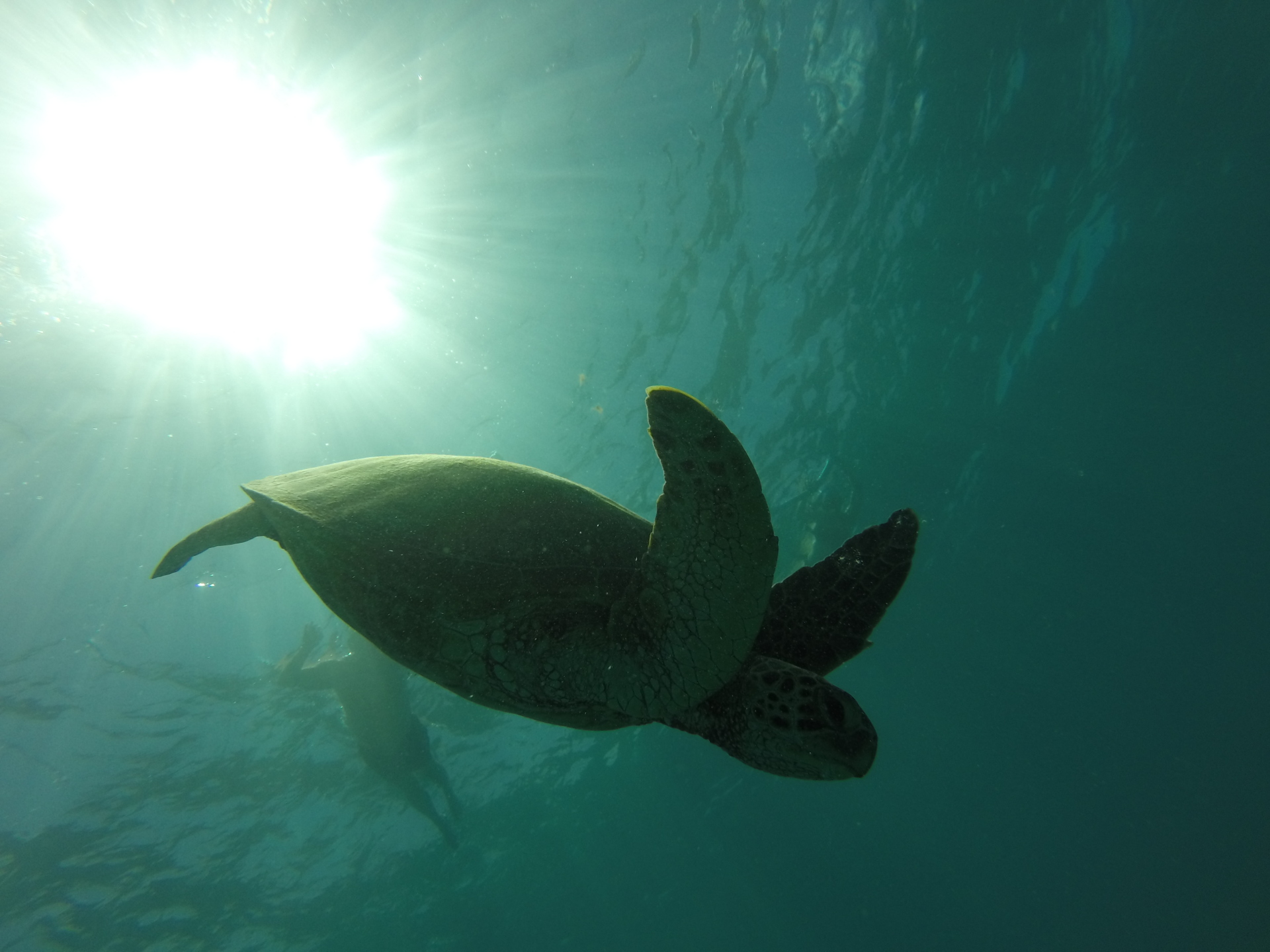 Honu at Turtle Canyon receiving a cleaning!