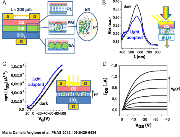 Interfacial electronic effects in functional biolayers integrated into organic field-effect transistors