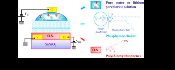 Phospholipid film in electrolyte-gated organic field-effect transistors