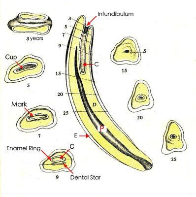 An equine incisor