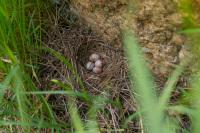 Arthur's Rock Wren Nest