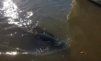 Leão marinho puxa criança para dentro d'água em marina no Canadá; assista