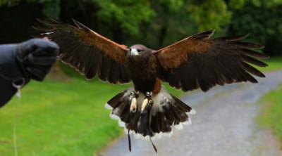 Hawk handling experience
