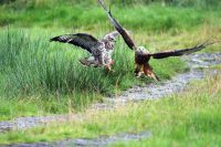 Feeding time at Gigrin Rhayaders Red-kite center near valley view rhayader