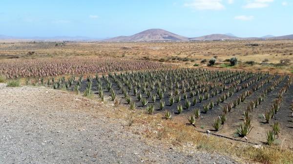Fuerteventura,  Aloe Vera,  Landscape, Mountains