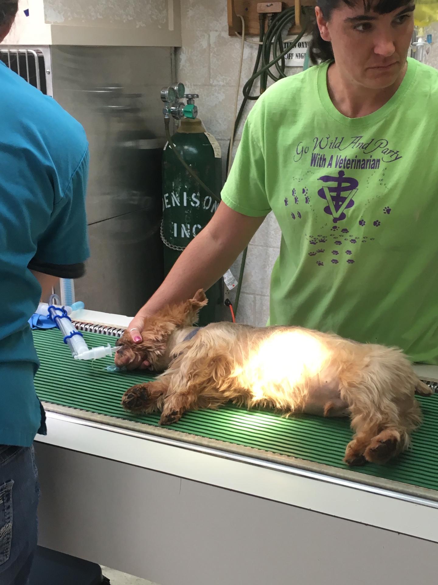 Dog Dental Cleaning, Veterinary, Animal Hospital