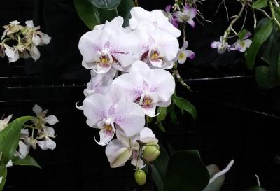 Как да поливам моята орхидея