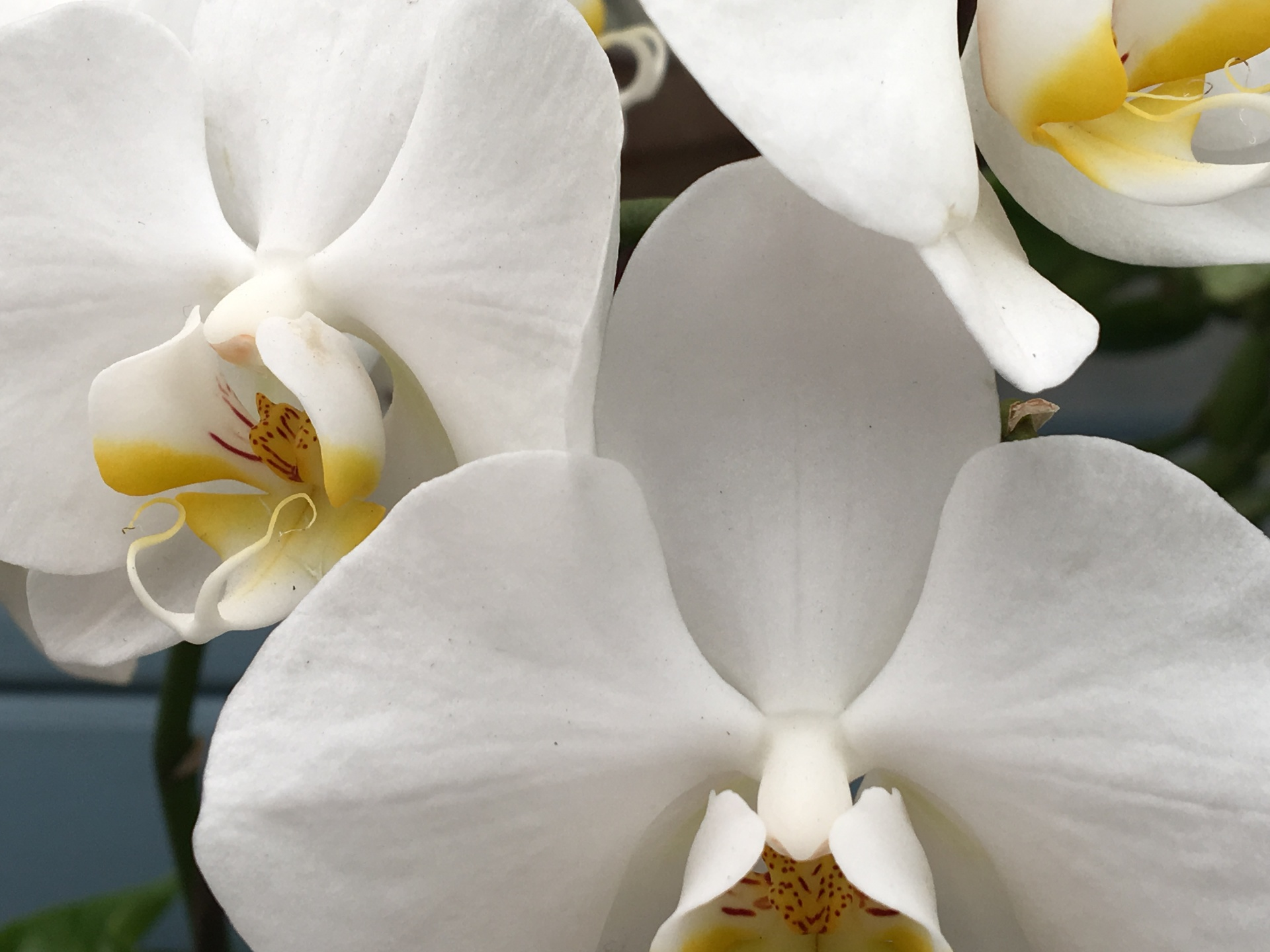 Orchid 3, Digital Still-Life Photography by Artist Mindy Lichter. MLICHTER fINE ART dESIGN