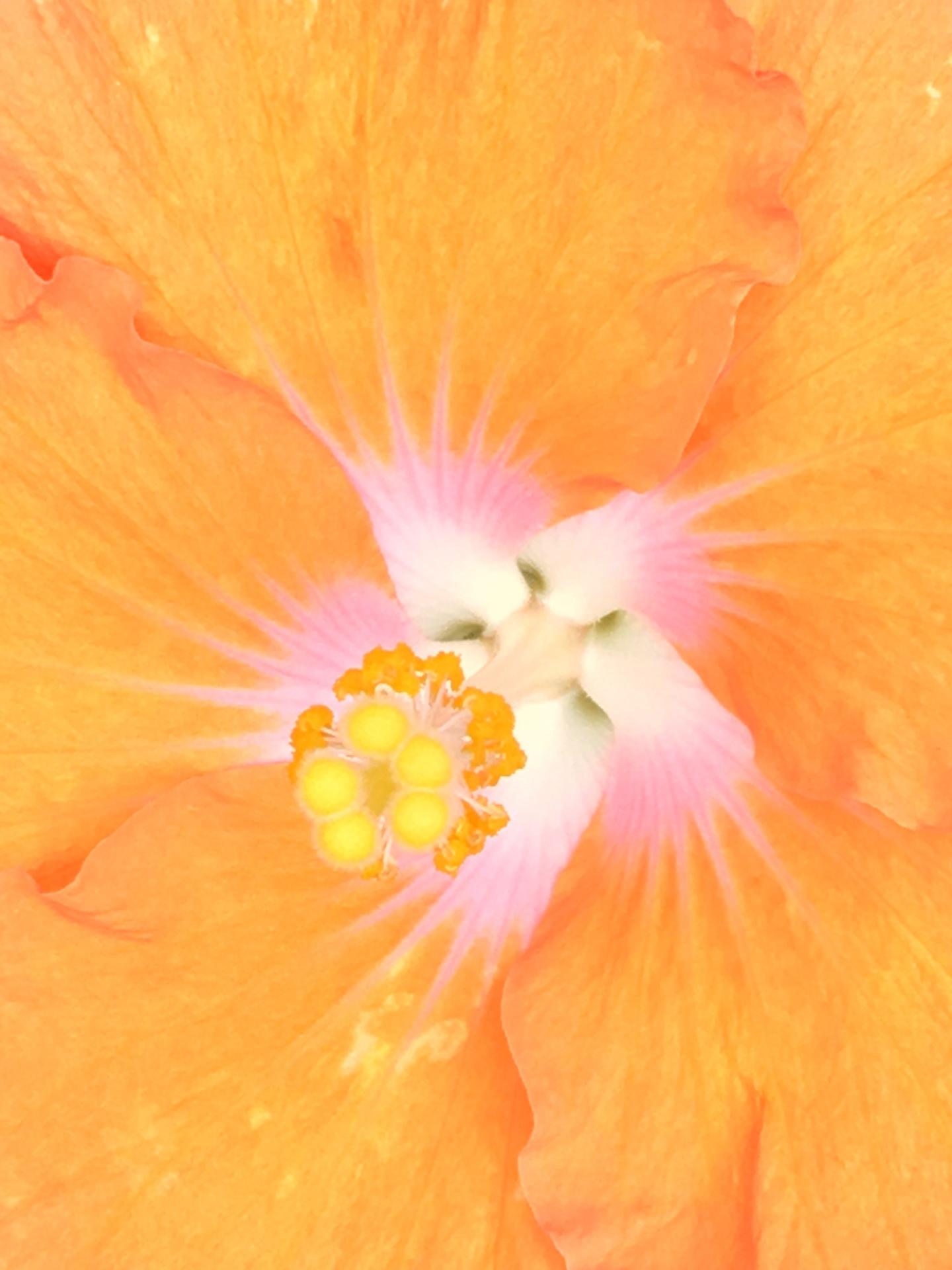 Hibiscus, Digital Still-Life Photography by Artist Mindy Lichter. MLICHTER fINE ART dESIGN