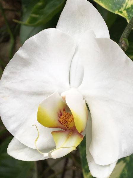 Orchid 1, Digital Still-Life Photography by Artist Mindy Lichter. MLICHTER fINE ART dESIGN