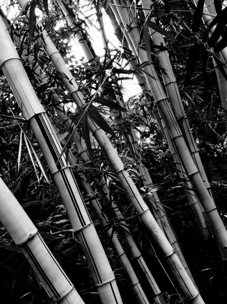 Bamboo, Digital Still-Life Photography by Artist Mindy Lichter. MLICHTER fINE ART dESIGN