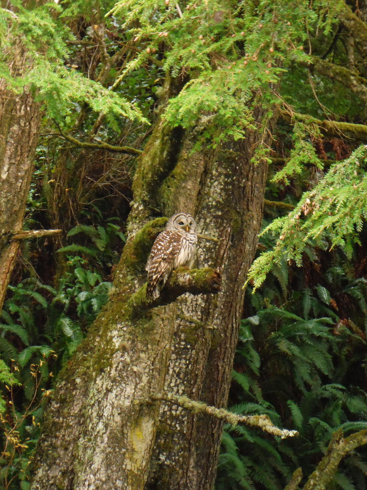 Olympic Peninsula Owl