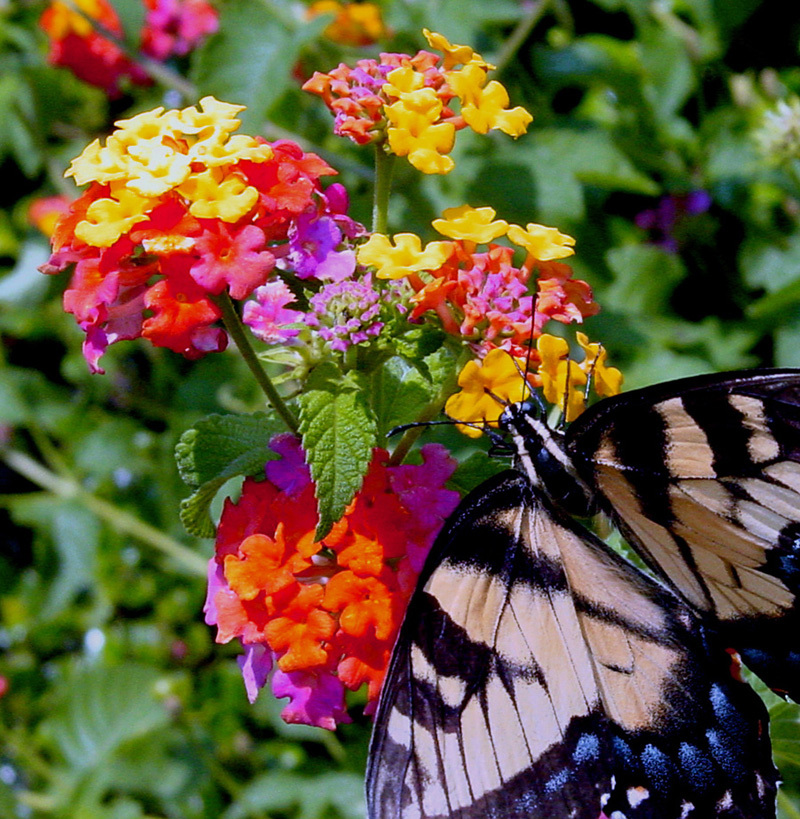 Colorful Summer Lantana Plant