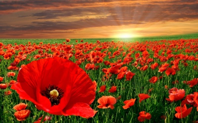 Poppies, WW1, Veterans