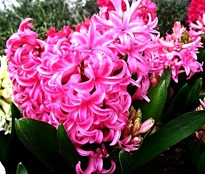 Colorful Hyacinth Flowers