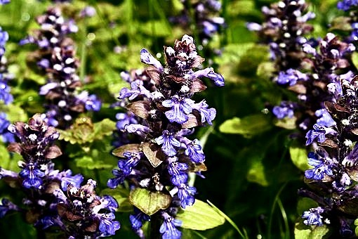 Beautiful Ajuga Ground Cover