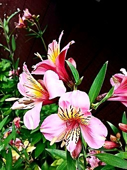 Beautiful Peruvian Lily water reflections