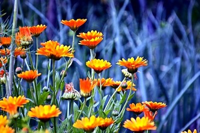 Daisy-like Calendula Winter Plants