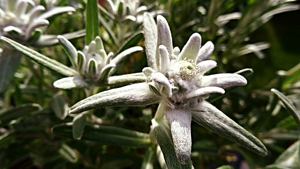 Edelweiss Austria's National Flower