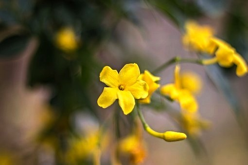 Winter Jasmine Flower Snow Bloom