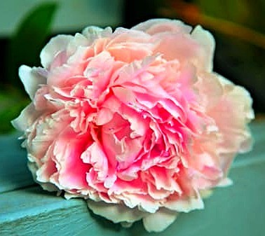 Peony Spring Blooms