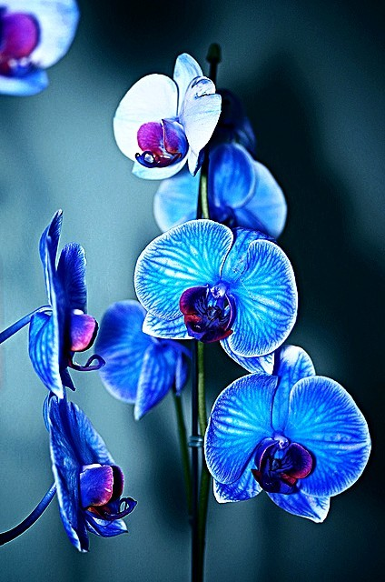 https://www.bing.com/images/search?q=blue+orchid+history&view=detailv2&&id=B0A686F052DD46BE5E24AAFBD