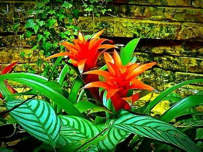 Colorful Brameliad Blooms