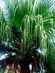 Beautiful Chinese Fan Palm Tree