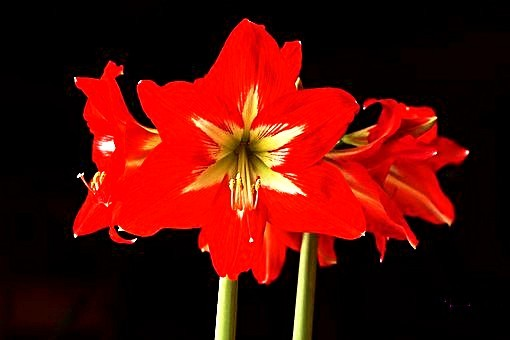 Flowering Amaryllis