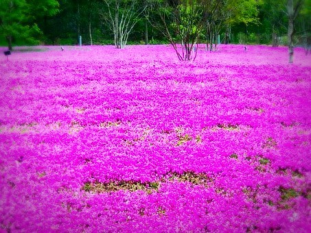 Field of Phlox Wildflowers