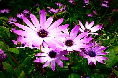 African Daisy Wildflowers