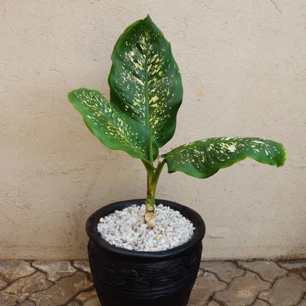 Dieffenbachia Plant Medium