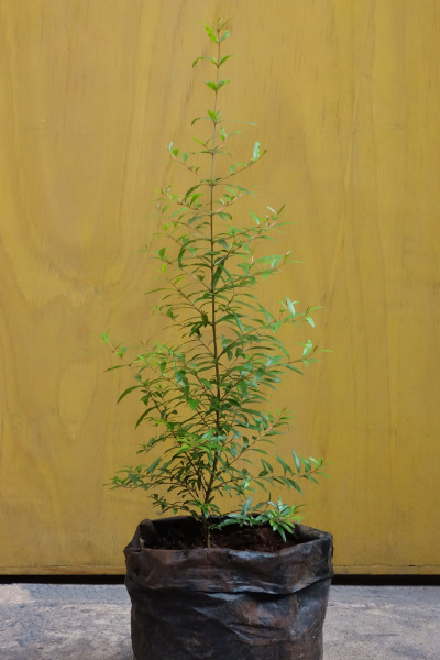 Kokomanga Plant Medium