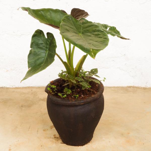 Lily Plant Medium