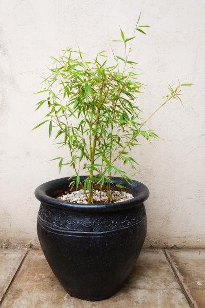 Bamboo Plant Large